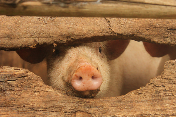 Cochon (cliché de Lauren Faure)